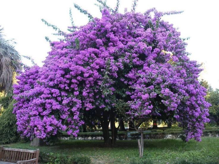 98318 Beautiful Purple Jacaranda Tree